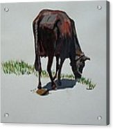The Holy Cow And Dung. Acrylic Print