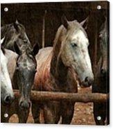 The Horses Acrylic Print