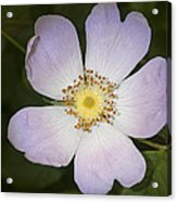 The Humble Dog Rose Acrylic Print