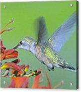 The Humming Bird Sips  Acrylic Print by Jeff Swan