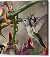 The Hummingbird And The Slipper Plant  Acrylic Print