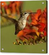 The Hummingbird Turns   Acrylic Print