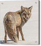 The Hungry Fox Acrylic Print