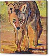 Coyote Hunting Acrylic Print