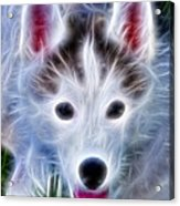 The Huskie Pup Acrylic Print by Bill Cannon