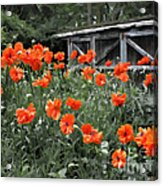 The Inspiration Of Orange Poppies Acrylic Print