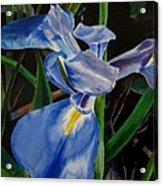 The Iris Acrylic Print