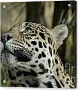 The Jaguar's Gaze Acrylic Print