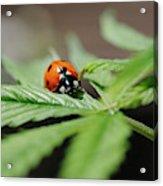 The Ladybug And The Cannabis Plant Acrylic Print