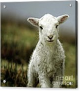 The Lamb Acrylic Print by Angel  Tarantella