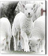 the Lamb is watching Acrylic Print