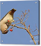 The Last Berries Are For Me Acrylic Print