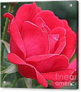 The Last Rose Of Spring Acrylic Print