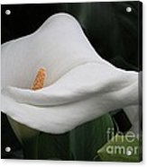 The Legend Of The Calla Lily Acrylic Print