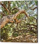 The Life Of Oaks - The Magical Trees Of The Los Osos Oak Reserve Acrylic Print