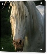 The Light In The Mane Acrylic Print