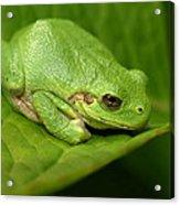 The Little Frog Acrylic Print