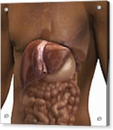 The Liver And Digestive System Acrylic Print