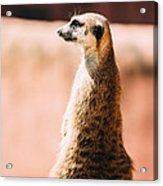 The Lonely Meerkat Acrylic Print