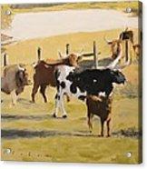 The Longhorn Cows Acrylic Print