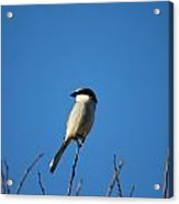 The Predator Lookout Shrike Bird Art Acrylic Print