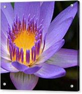 The Lotus Flower - Tropical Flowers Of Hawaii - Nymphaea Stellata Acrylic Print