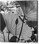 The Lotus Pond Acrylic Print