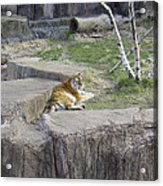 The Lounging Tiger 1 Acrylic Print