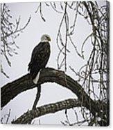 The Majestic Eagle Acrylic Print