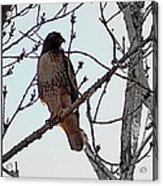 The Majestic Hawk Acrylic Print