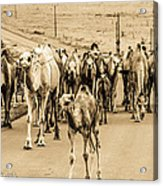 The March Of The Camels Acrylic Print