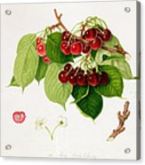 The May Duke Cherry Acrylic Print by William Hooker