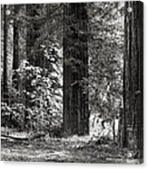 The Mighty Redwood Acrylic Print