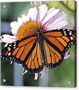The Monarch Landed Acrylic Print