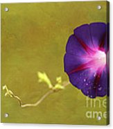 The Morning Glory Acrylic Print by Darren Fisher