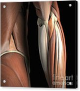 The Muscles Of The Elbow Rear Acrylic Print