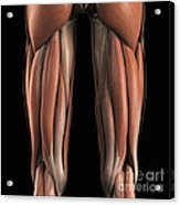 The Muscles Of The Upper Legs Rear Acrylic Print