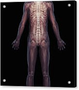 The Musculoskeletal System Rear Acrylic Print