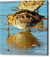 The Mythical Snipe Acrylic Print