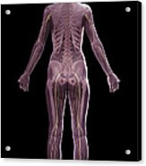 The Nervous And Skeletal Systems Female Acrylic Print