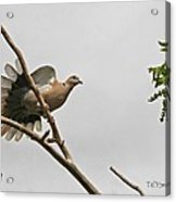 The New Dove In Town Acrylic Print