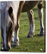 The New Forest Pony Acrylic Print