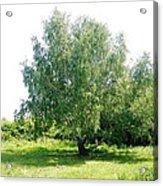 The Old Birch Tree Acrylic Print