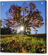 The Old Maple Acrylic Print