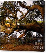 The Old Tree At The Ashley River In Charleston Acrylic Print by Susanne Van Hulst