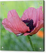 The One And Only Pink Poppy Acrylic Print
