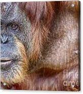 The Orangutan Album  Acrylic Print