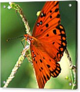 The Passion Butterfly Acrylic Print