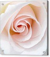 The Pastel Rose Acrylic Print