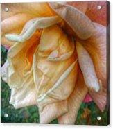 The Peach Rose Acrylic Print